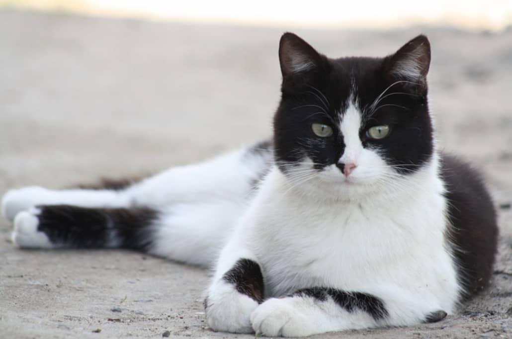 gatto maschio bianco e nero