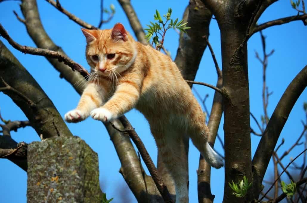 gatto maschio rosso