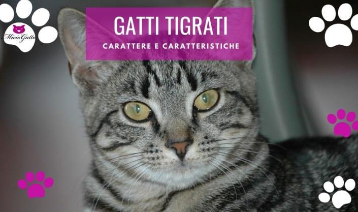 gatti tigrati razze carattere
